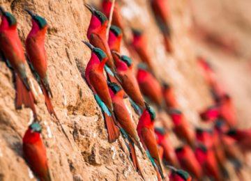 3_Afrika-Sambia-Luxury-Safari-birdwatching-South-Luangwa-Bienenfresser-Vogelbeobachtung-Chinzombo-@Time_and_Tide-1024×683
