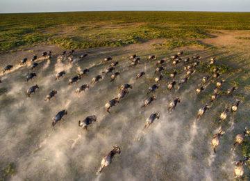 Close-up-aerial-wildebeest-great-migration.jpg