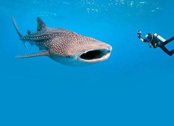9_Whale-Shark©Thanda-Island