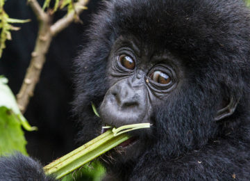 @Wilderness_Safaris_Ruanda_Bisate_Lodge_Dana_Allen_Affe