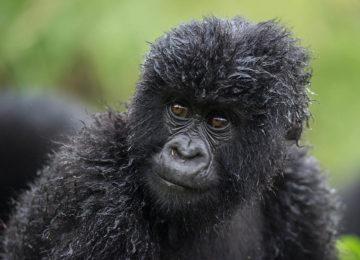 @Wilderness_Safaris_Ruanda_Bisate_Lodge_Russel_Friedmann_Affe