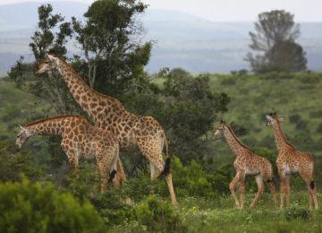 Giraffe-2010-IMG_0399-1024×683
