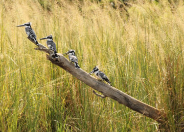 Murchison Falls (5)