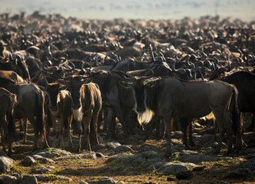 Wildlife Great Migration