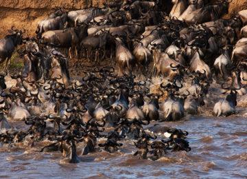 Wildlife Great Migration Mara