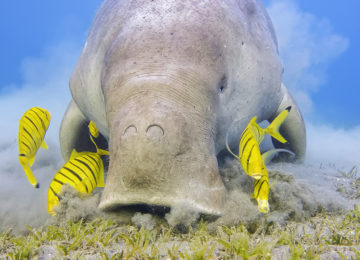 Male Dugong and Golden trevally (Gnathanodon speciosus) feeding on seagrass beds in Red Sea – Marsa Alam – Egypt