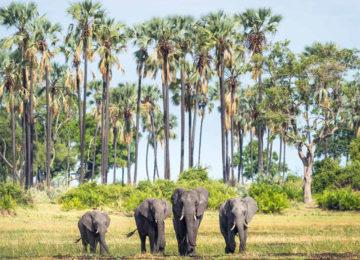 elefanten_okavango