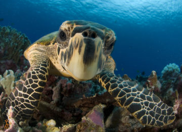 Close-up hawksbill sea turtle underwater by colorful coral