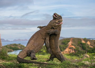 Two Komodo dragon fight with each other.